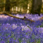 A wood with bluebells
